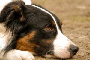 Collie als Hund fuer Familie