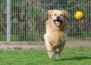 golden retriever spielen
