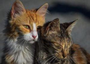 paarungswillige katze