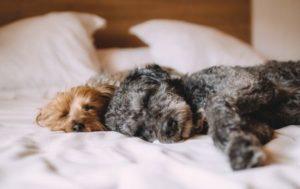 Hunde im bett schlafen
