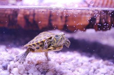 wasserschildkroete aquarium