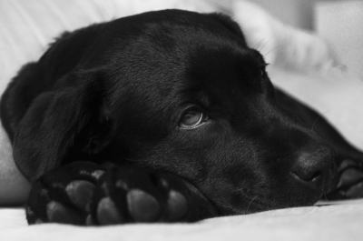 Hunde OP Schutz